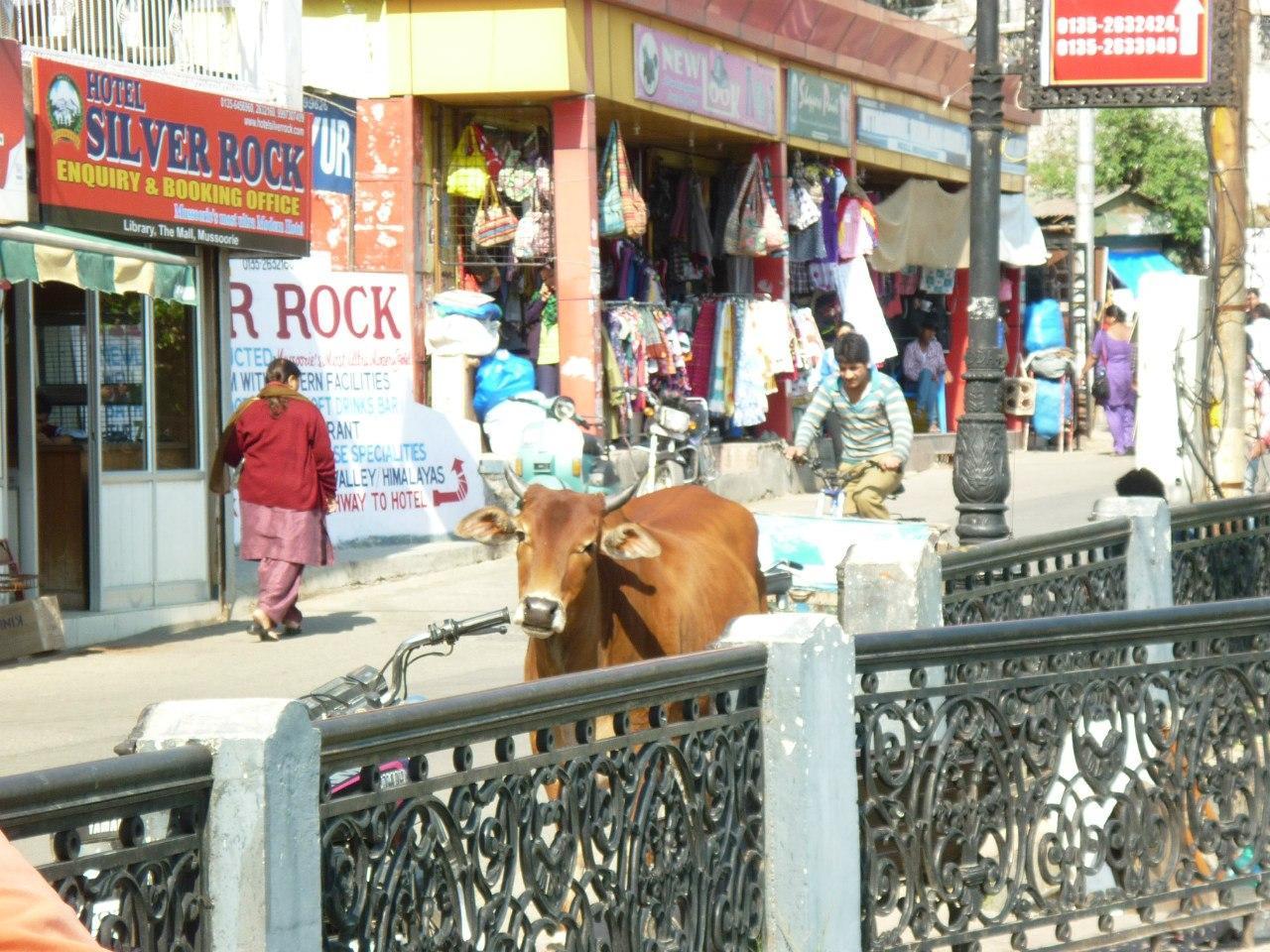 Индия. Миссури. Корова