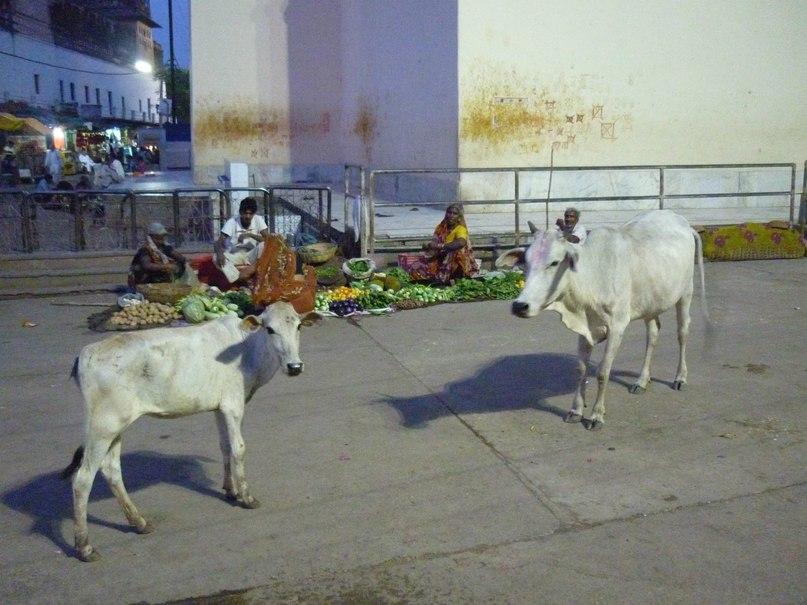 Индия. Орчха. Улица. Коровы