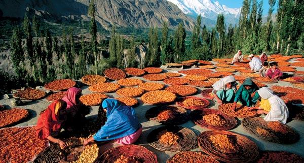выращивание и специальная высушка абрикосов, которым занимаются хунзакуты