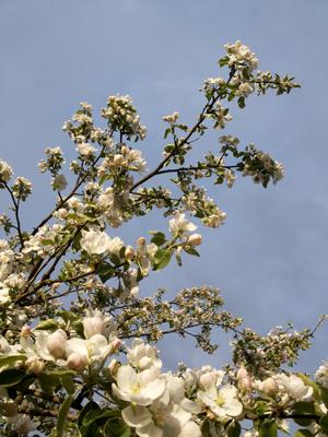 времена года, луна, яблони, май