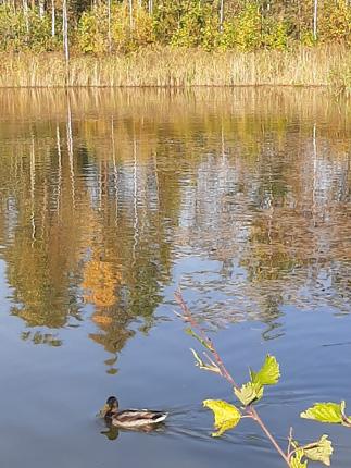 утки на пруде, осень, бабье лето