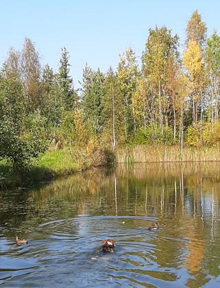 утки, пруд, собака, осень