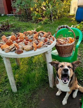 собака, пафос, грибы, осень
